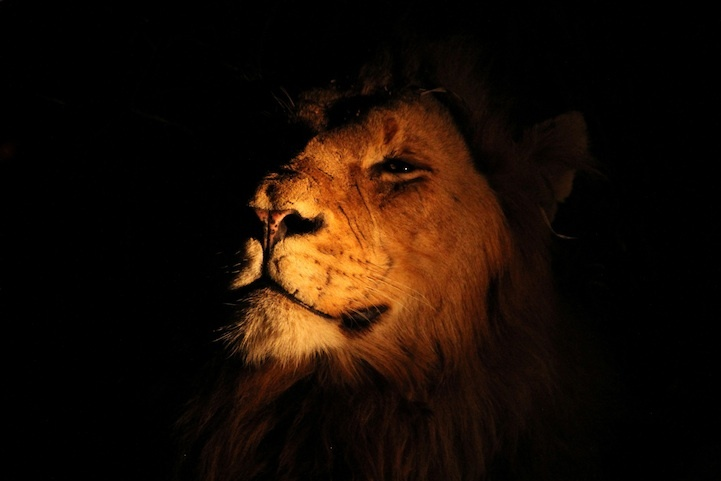 Lion almost hidden in shadow, leadership, marriage, husband leaders,