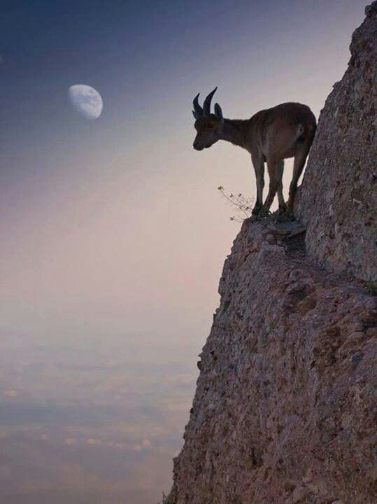 Goat on a rocky ledge, alone with God, on a rocky path